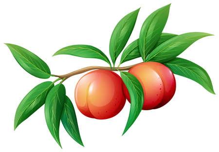 Fresh peaches on the branch illustration