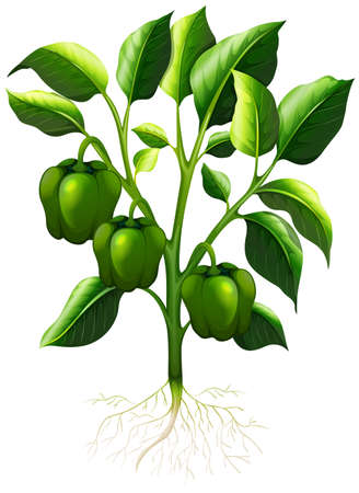 capsicum: Green capsicum with roots illustration
