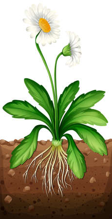 grounds: White daisy planting under the ground illustration