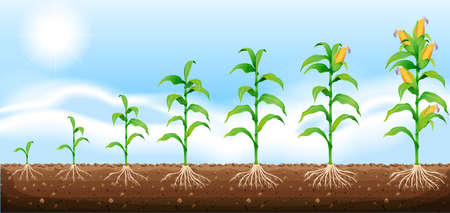 corn fields: Corn growing from underground illustration