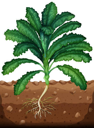 kale: Fresh kale with roots illustration