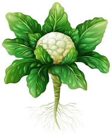 coliflor: Coliflor con hojas y raíces ilustración Vectores