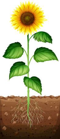 raices de plantas: Girasol con las ra�ces bajo tierra ilustraci�n