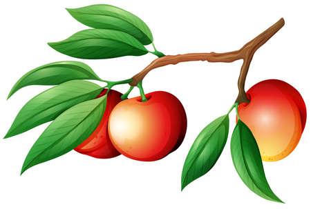 fruit stem: Fresh nectarine on the branch illustration