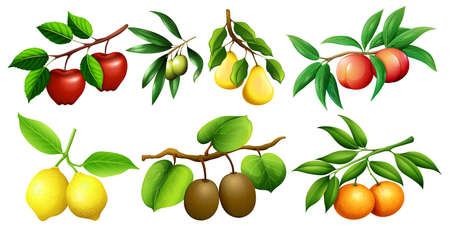 nectarine: Different kind of fruits on branches illustration Illustration