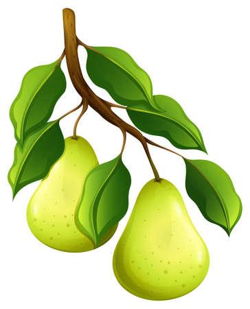 pears: Fresh pears on branch illustration Illustration