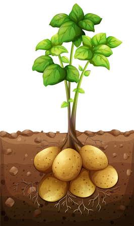 papas: planta de patatas bajo la ilustración de tierra