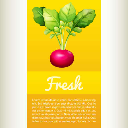 inforgraphic: Poster design with fresh red radish illustration