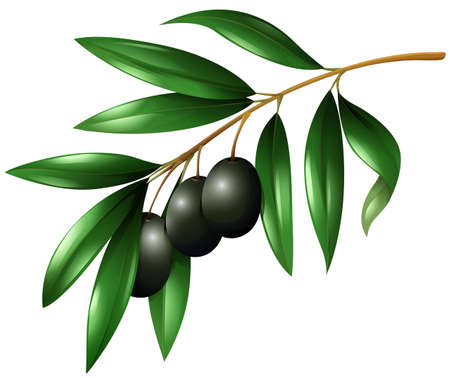 olive: Black olives on the branch illustration