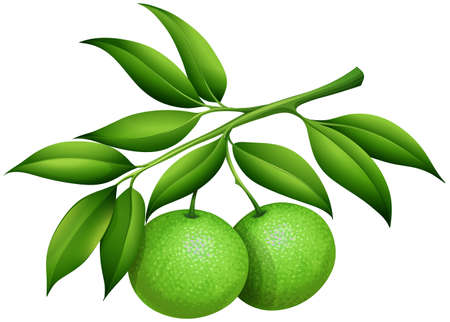 Fresh limes on the branch illustration Illustration