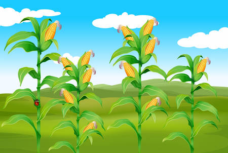 Farm scene with fresh corn illustration