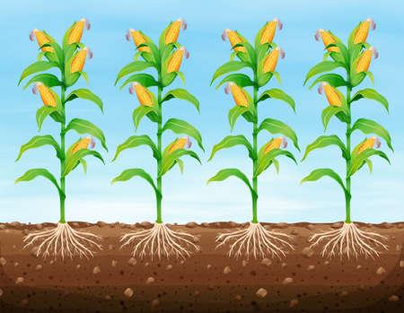 corn crop: Corn planting on the ground illustration