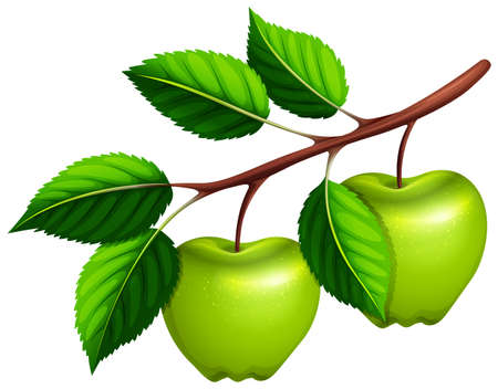 Green apples on the branch illustration Stock Vector - 49391442