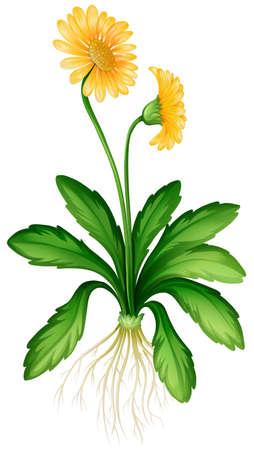yellow daisy: Yellow daisy with roots illustration Illustration