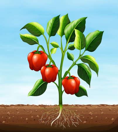 soil: Red capsicum on the tree illustration