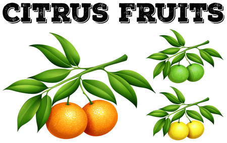 citrus fruits: Fresh citrus fruits on the branch illustration Illustration