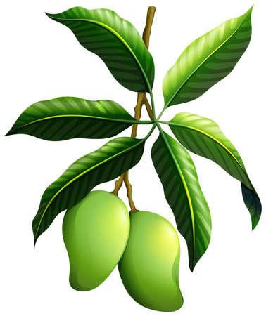 mango: Świeże mango na rysunku oddział