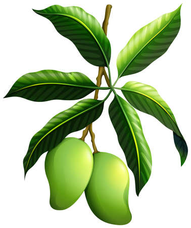 Fresh mango on the branch illustration Illustration