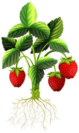raíz de planta: Fresa fresca en la ilustración del árbol Vectores
