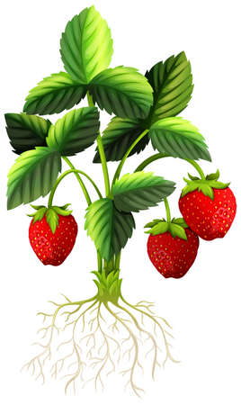 strawberry plant: Fresh strawberry on the tree illustration Illustration