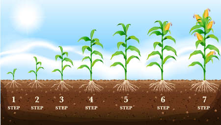 Growing corn on the ground illustration