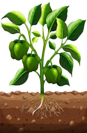 raices de plantas: pimiento verde en la ilustración de la rama Vectores