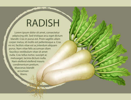 Fresh radish with text design illustration