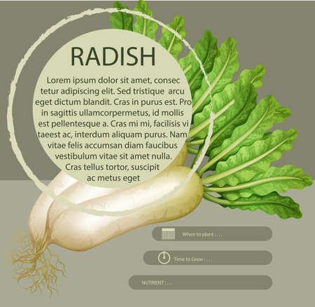 vegatables: Infographic design with white radish illustration