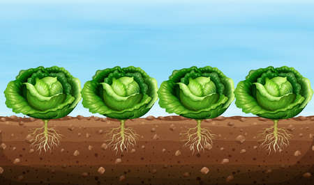 crops: Cabbage plants on the ground illustration
