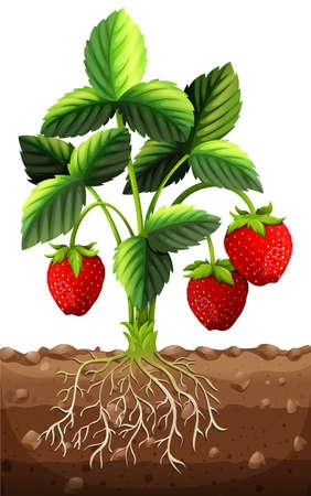 Strawberry plant in the ground illustration  イラスト・ベクター素材