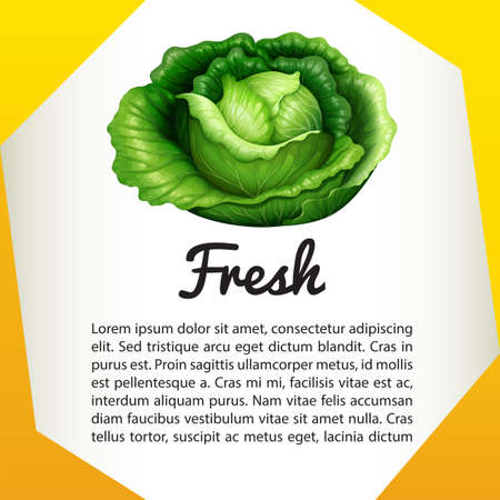 cabbage: Infographic with fresh cabbage illustration Illustration