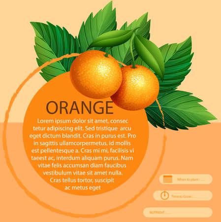 fruit orange: diseño de infografía con las naranjas frescas ilustración Vectores