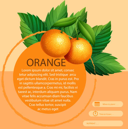 oranges: Infographic design with fresh oranges illustration Illustration