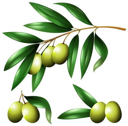Green olives on the branch illustration Vetores
