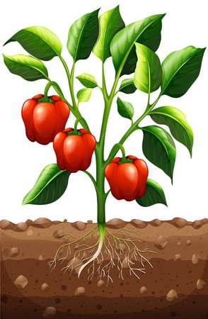 capsicum: Capsicum plant on the farm illustration Illustration