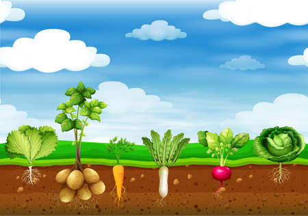 Fresh vegetables in the ground illustration