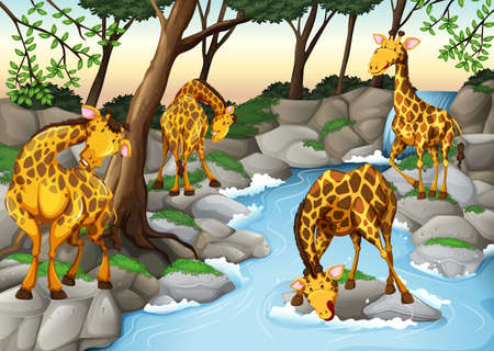 waterfall in forest: Four giraffes drinking water from the river illustration