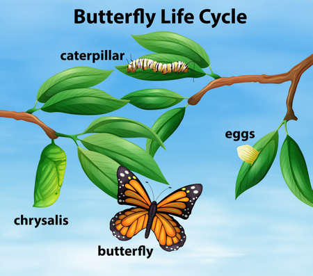 Butterfly life cycle diagram illustration Çizim