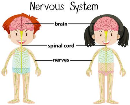 Zenuwstelsel van jongen en meisje illustratie