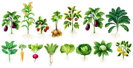tomates: De nombreux types de légumes avec des feuilles et des racines illustration