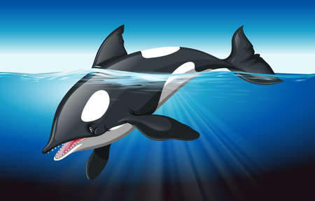 orcinus: Killer whale swimming in the ocean illustration
