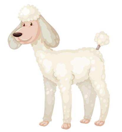 white fur: Poodle dog with white fur illustration Illustration