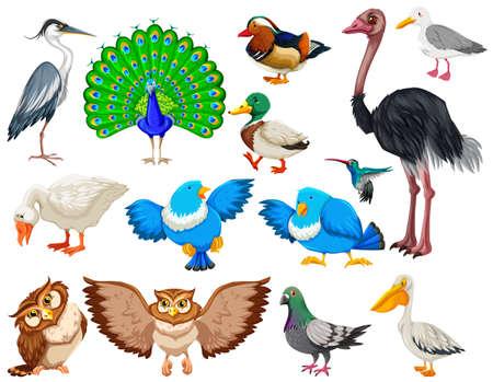 pigeon owl: Different kind of wild birds illustration Illustration
