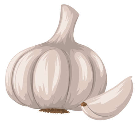 Fresh garlic on white background illustration