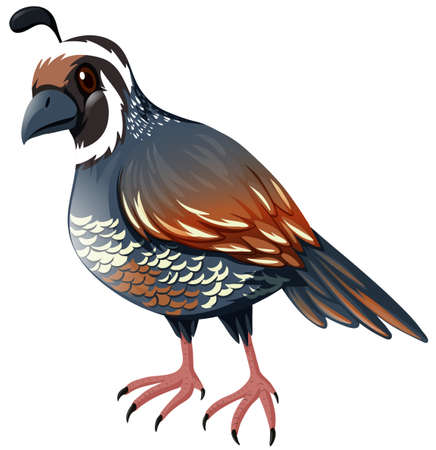 Quail standing on white background illustration Imagens - 55196104