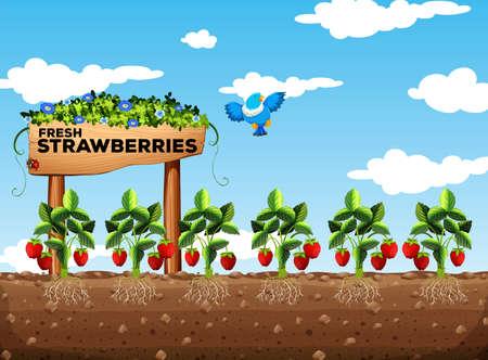 daytime: Strawberry field at daytime illustration