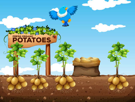 agriculture landscape: Scene of potatoes farm illustration