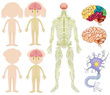 celulas humanas: Anatomía del niño y niña de la ilustración