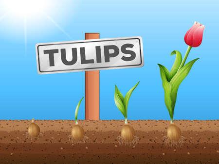 crecimiento planta: Tulipanes que crecen de la ilustración subterránea Vectores