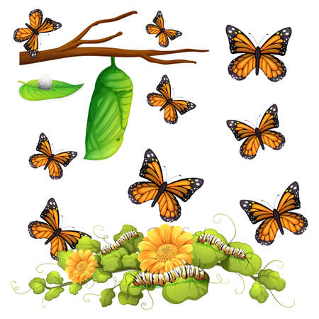 mariposa: Las diferentes etapas de la ilustración de la mariposa Vectores